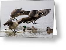 Duck Ducks Greeting Card
