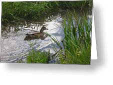 Duck Swimming In Stream Greeting Card