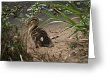 Duckling Lost Greeting Card