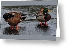 Ducks Hoping For Snacks  Greeting Card