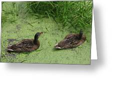 Ducks In Pond Greeting Card