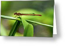 Duckweed Firetail Damselfly Greeting Card