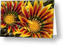 Dueling Gerberas Greeting Card