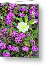 Dune Primrose Oenothera Deltoides And Purple Sand Verbena Greeting Card