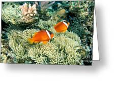 Dusky Clownfish Greeting Card