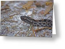 Dusky Pygmy Rattlesnake Greeting Card