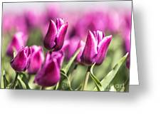 Dutch Tulips 2016 - Part One Greeting Card