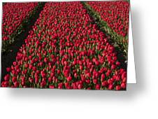 Dutch Tulips Second Shoot Of 2015 Part 1 Greeting Card