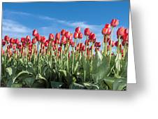 Dutch Tulips Second Shoot Of 2015 Part 10 Greeting Card