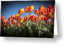 Dutch Tulips Second Shoot Of 2015 Part 2 Greeting Card