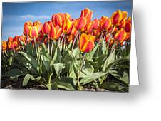 Dutch Tulips Second Shoot Of 2015 Part 3 Greeting Card