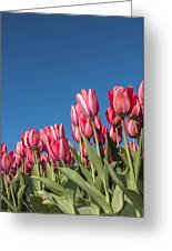 Dutch Tulips Second Shoot Of 2015 Part 8 Greeting Card
