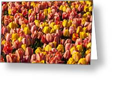 Dutch Tulips Second Shoot Of 2015 Part 9 Greeting Card