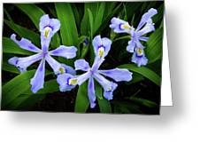 Dwarf Crested Iris Greeting Card