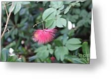 Dwarf Powder Puff Flower Greeting Card