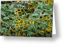 Dying Sun Flowers Greeting Card