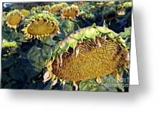 Dying Sunflowers In Field Greeting Card