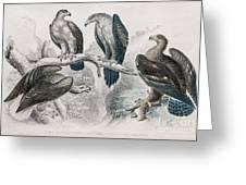 Eagle Birds Print Greeting Card