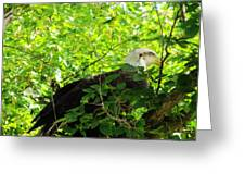 Eagle In The Tree Greeting Card