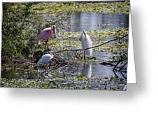 Eagle Lakes Park - Roseate Spoonbill And Friends, Socializing Greeting Card