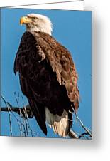 Eagle Of The Salt River Greeting Card