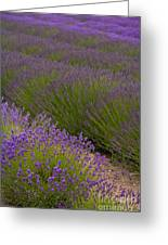 Early Morning Lavender Greeting Card
