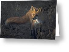 Early Morning Red Fox Prowl Greeting Card