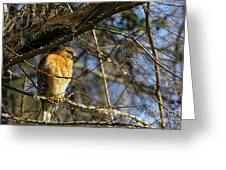 Early Morning Still Hunting  Coopers Hawk Art Greeting Card