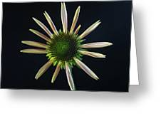 Early Stage Of Cone Flower Bloom Greeting Card