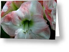 Easter Amaryllis Greeting Card