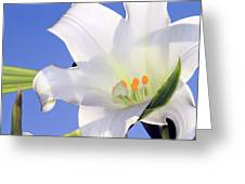 Easter Lily Back Lit By The Sun  Greeting Card