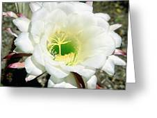 Easter Lily Cactus Flower Greeting Card