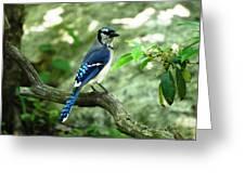 Eastern Blue Jay Greeting Card