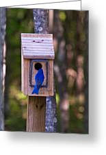 Eastern Bluebird Entering Home Greeting Card