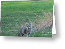 Eastern Coyote In Grass Greeting Card