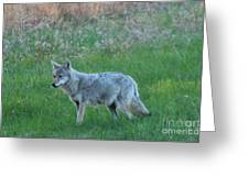 Eastern Coyote In Meadow   Greeting Card