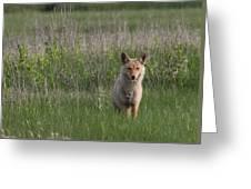 Eastern Coyote Greeting Card