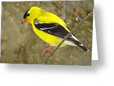 Eastern Goldfinch Greeting Card