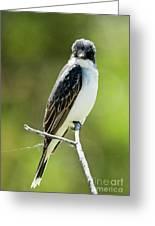 Eastern Kingbird Stare Greeting Card