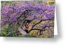 Eastern Redbud Arlington Virginia Spring Bloom Greeting Card