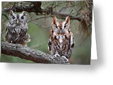 Eastern Screech Owls 424 Greeting Card