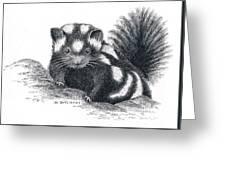 Eastern Spotted Skunk Greeting Card