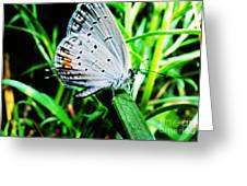 Eastern Tailed Blue Butterfly Greeting Card