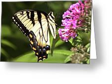 Eastern Triger Swallowtail Greeting Card
