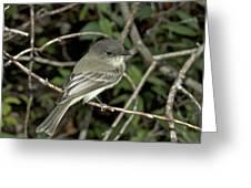 Eastern Wood Peewee Greeting Card