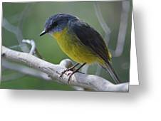 Eastern Yellow Robin Greeting Card