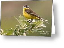 Eastern Yellow Wagtail Greeting Card
