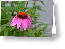 Echinacea 16-01 Greeting Card