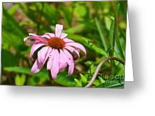 Echinacea 16-02 Greeting Card