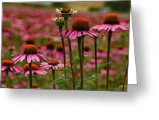 Echinacea Front And Center Greeting Card